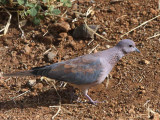 Laughing Dove, Bahir Dar