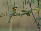 Little Bee-eater, near Axum