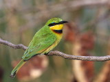 Little Bee-eater, Lake Tana Bahir Dar