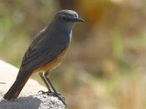 Little Rock Thrush, Axum