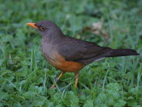 Mountain Thrush, Ghion Hotel garden, Addis Ababa