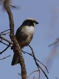 Northern White-crowned Shrike, near Negele