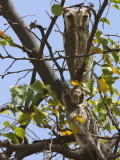 Northern White-faced Scops Owl, Awash NP