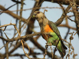 Orange-bellied Parrot, near Yabello