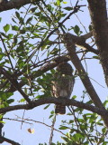 Pearl-spotted Owlet, near Yabello