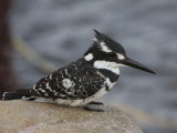 Pied Kingfisher, Lake Awassa