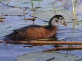 African Pygmy Goose, Lake Awassa