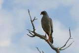 Pale Chanting Goshawk, Etosha NP, Namibia
