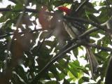 Red-billed Dwarf Hornbill, Bobiri Reserve, Ghana