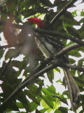 Red-billed Dwarf Hornbill