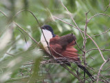 Blue-headed Coucal, Atewa Hills, Ghana