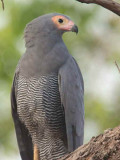 African Harrier Hawk (Gymnogene)