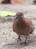 Laughing Dove, Hans Cottage, Ghana