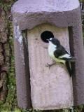 Pied Flycatcher, Ross Wood-Loch Lomond, Clyde