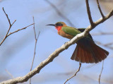 Red-throated Bee-eater, Mole NP, Ghana