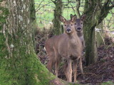 Roe Deer, near Balmaha-Loch Lomond