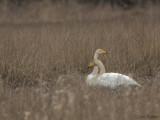Whooper Swan, Aber Bog-Loch Lomond, Clyde