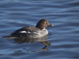 Goldeneye(female), Hogganfield Loch, Clyde