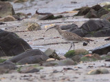 Whimbrel, Balcomie Beach, Fife