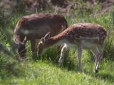 Fallow Deer, Loch Lomond, Clyde