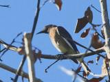 Madagascar Starling, Parc Mosa-Ifaty, Madagascar