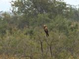 Marsh Harrier, Lake Koycegiz, Turkey
