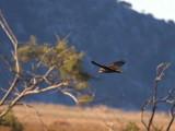 Marsh Harrier, Dalyan, Turkey