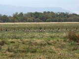 Canada Geese on the Crom Mhin marsh, Loch Lomond NNR