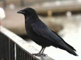 Carrion Crow, Hogganfield Loch, Glasgow