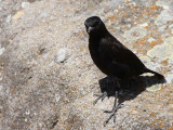 Ruppell's Black Chat, near Lalibela