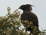 Long-crested Eagle, near Axum