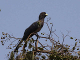 Eastern Grey Plantain-eater, Bahir Dar