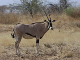 Besia Oryx, Awash National Park