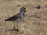 Spot-breasted Lapwing, Suluta Plains