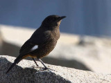 White-winged Cliff Chat (female), Axum