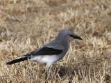 Streseman's Bush Crow, Yabello