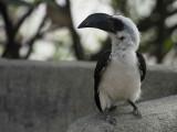 Von der Decken's Hornbill (female), Lake Langano