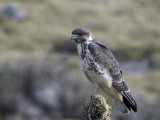 Mountain Buzzard, Sanetti Plateau, Bale Mountains NP