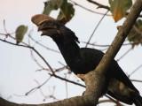 Silvery-cheeked Hornbill, Wondo Genet