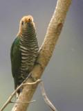 Asian Emerald Cuckoo, near Tingbiti, Bhutan