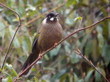 Black-faced Laughingthrush, Pele la, Bhutan