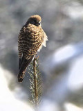 Common Kestrel, Cheli la, Bhutan