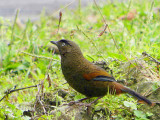 Blue-winged Laughingthrush, upper Limemethang Road, Bhutan
