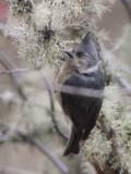 Grey-crested Tit, Sengor, Bhutan