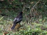 Grey-winged Blackbird, Kori la, Bhutan