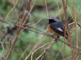 Hodgson's Redstart, Paro, Bhutan