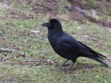 Large-billed Crow, Trongsa, Bhutan