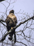 Mountain Hawk Eagle, Mo Chhu valley, Bhutan