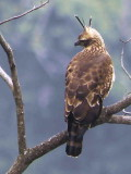 Mountain Hawk Eagle, Shemgang Road, Bhutan