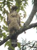 Mountain Hawk Eagle, lower Lingmethang Road, Bhutan